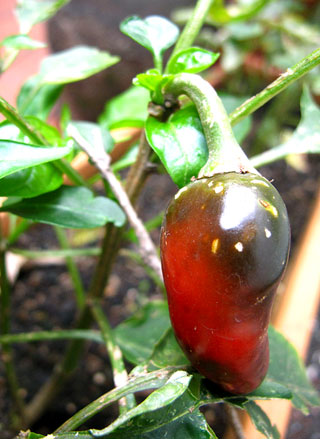 Jalepeno Pepper